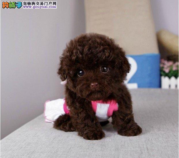 诚信交易、纯种泰迪犬、健康终身保障、签协议送狗用品2
