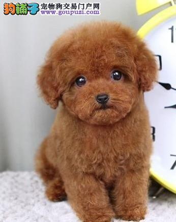 诚信交易、纯种泰迪犬、健康终身保障、签协议送狗用品1