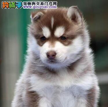 出售纯种健康的绍兴哈士奇幼犬 售后保障放心购买