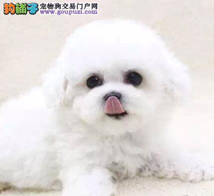 武汉热卖比熊多只挑选视频看狗保证品质完美售后