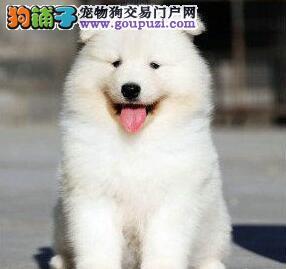 高品质萨摩耶幼犬 价格美丽品质优良 喜欢加微信