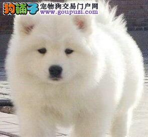 养殖场直销完美品相的萨摩耶签订协议包细小犬瘟热