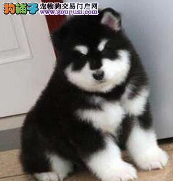 犬舍直销品种纯正健康岳阳阿拉斯加犬保证冠军级血统