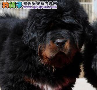 北京雪域獒园出售来自牧区的藏獒宝宝!图片