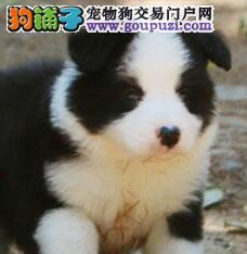 刚出窝的太原边境牧羊犬求好心人收留 包养活质保三年
