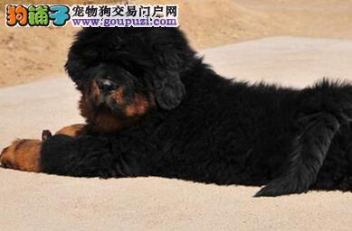 家养一窝杭州藏獒幼犬宝宝低价出售保证健康