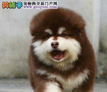 阿拉斯加犬CKU认证犬舍自繁自销均有三证保障