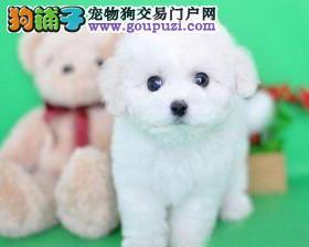 石家庄直销家养棉花糖比熊宝宝 大大的眼睛黑黑的鼻子
