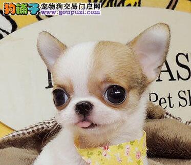 广州正规繁殖基地转让纯种吉娃娃诚信交易包健康签协议