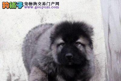 熊版霸气的广州高加索犬火爆低价热卖 可随时上门选购