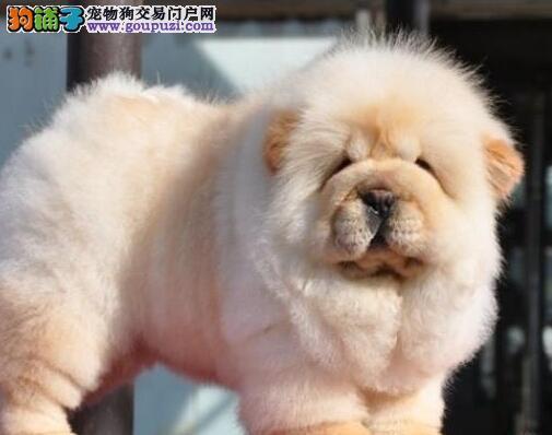 青岛繁殖场出售美系肉嘴松狮幼犬 可来基地参观挑选