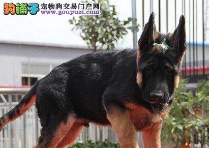 精品赛级德国牧羊犬,金牌店铺放心选,寻找它的主人