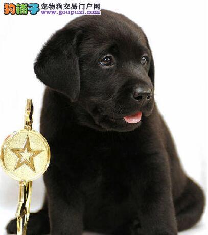 黄南州售神犬小七疫苗齐全纯种拉布拉多幼犬可视频