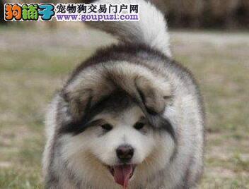 长沙售阿拉斯加犬 大阿公狗雪橇犬幼犬欢迎选购
