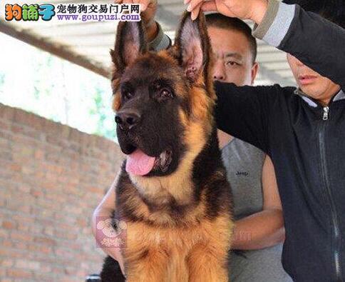 青岛基地出售锤系赛系德国牧羊犬 同城可免费送货