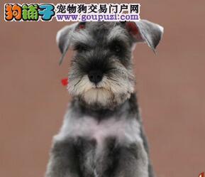 长胡子老头青岛雪纳瑞低价出售 爱狗人士优先选购4