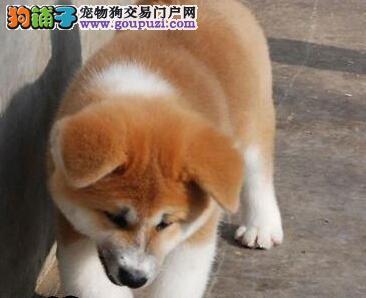 狗场出售纯种健康的日本秋田 日本柴犬 疫苗已做好