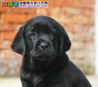 喀什地区性格温顺拉布拉多出售聪明听话可做导盲犬包活