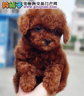 大连犬舍出售毛色好品相佳的贵宾犬 接纳顾客一切建议