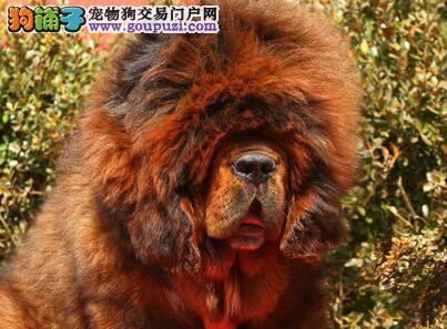 出售纯种大狮头大长毛大骨架精品藏獒喜欢请联系了