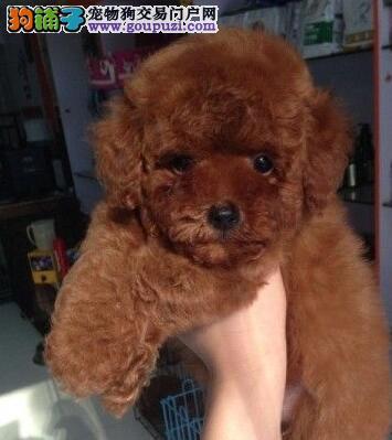 北京纯种茶杯玩具泰迪犬品相好颜色齐签售后包健康
