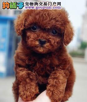 吉林正规繁殖基地出售深红色的贵宾犬终身免费售后2