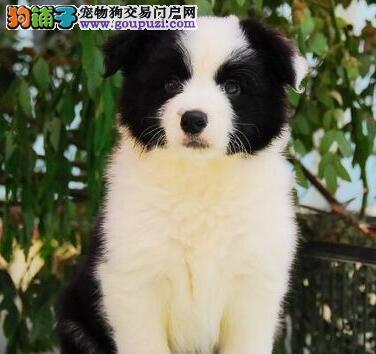 上海贝贝犬舍出售智商最高的边境幼犬