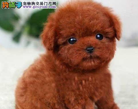 上海纯种颜色齐全韩系泰迪熊 茶杯玩具犬 购买可签协议
