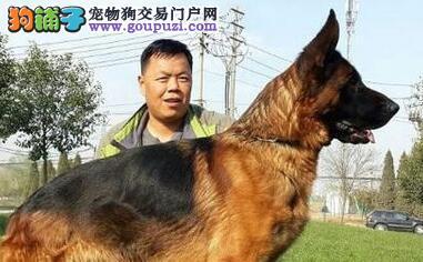 血统纯正的大头锤系武汉德国牧羊犬 均保证纯种和健康