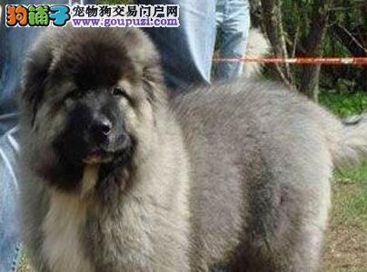 自家犬舍热销顶级优秀俄系合肥高加索犬 可当面购买