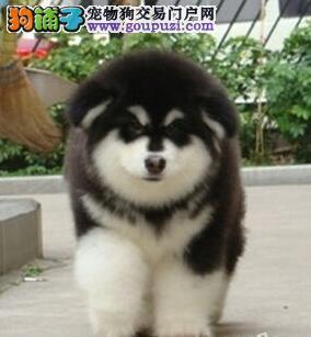 广州自家繁殖阿拉斯加2700元.优选犬舍