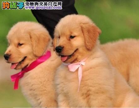 迪庆州专业繁殖基地售纯血枫叶金毛犬三针齐质保健康