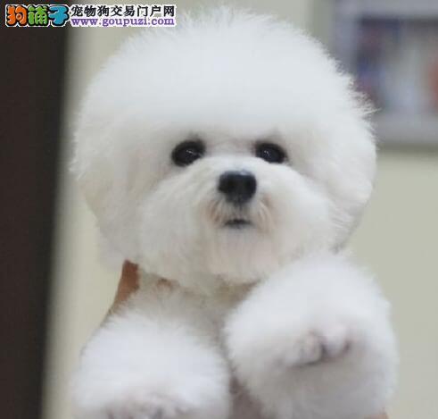 出售聪明伶俐北京比熊品相极佳支持全国空运发货