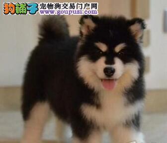 南京本地出售纯种阿拉斯加雪橇犬,喜欢的朋友可上门挑