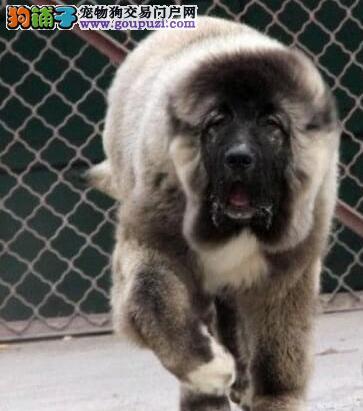 杭州高加索 高大威猛气度不凡高加索犬凶悍纯种俄系
