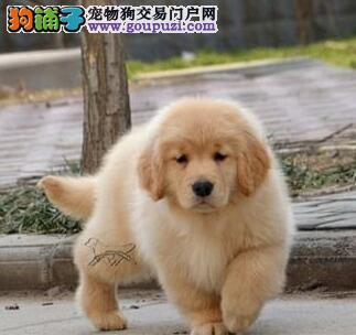 低价转让纯种贵阳金毛犬 品质高品相好有血统证书