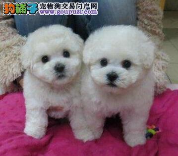 福州正规犬舍繁殖出售比熊犬 价格合理可看照片和视频