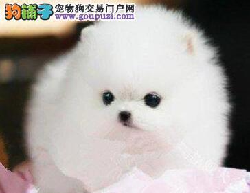 正宗纯种博美犬特价直销 广州地区可免邮费可接受预定