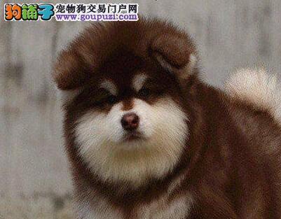 自家繁殖纯种阿拉斯加幼犬,毛足骨量大,随时可看狗