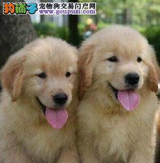 狗场出售广州金毛犬 24小时可随时与我咨询联络