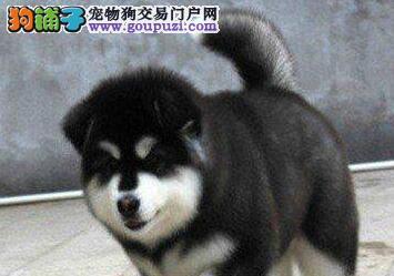 第一次养阿拉斯加犬请问它一共要打几种疫苗