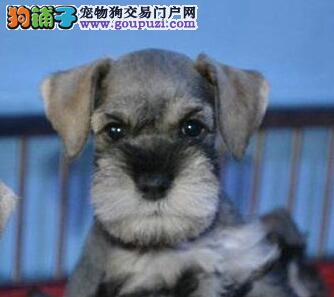 缔造优质广州雪纳瑞幼犬 健康纯正 品种优良