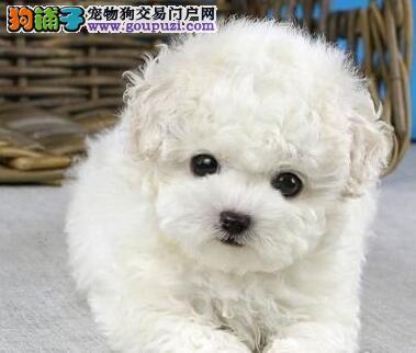 养殖场直销完美品相的泰迪犬微信看狗可见父母3