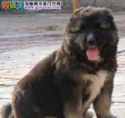 详细了解高加索犬的发情期状况
