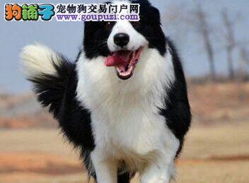 多种颜色的赛级边境牧羊犬幼犬寻找主人欢迎上门选购价格公道