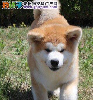 贵阳自家繁殖日系秋田犬幼犬出售抵制狗贩驱虫疫苗齐全