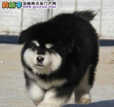 合肥实体狗场出售十字脸阿拉斯加犬 签协议保健康纯种