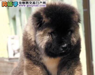 高加索犬狂犬病症状及预防措施有哪些