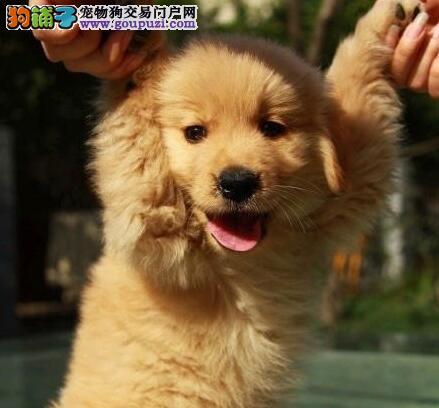 天津市出售金毛犬幼犬 公母都有 可视频看狗 疫苗齐全