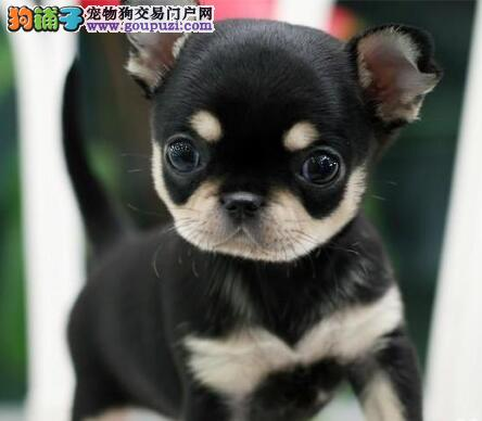 出售五个月大的上海吉娃娃 来犬舍购买可享受优惠